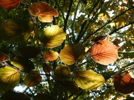 Corylus purpurea - Noisetier pourpre