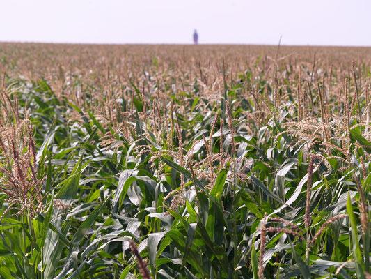 Der Mais blüht