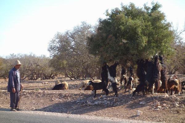 Beliebt bei den Ziegen ist das Grün der Bäume ....