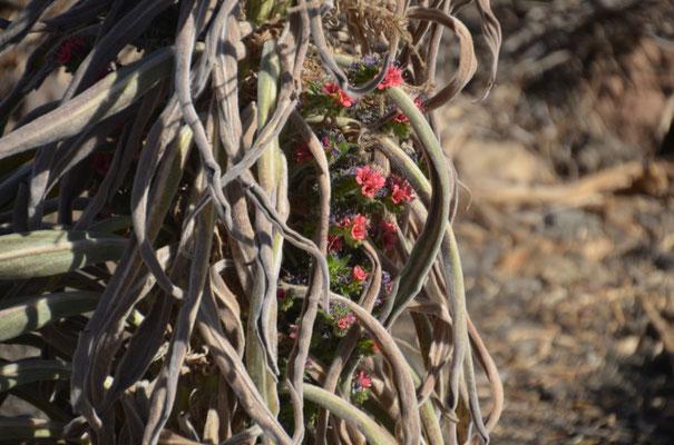 Der nur in der Caldera auftretende rote Natternkopf zeigt noch einzelne Blüten