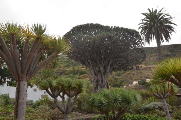 El Drago, der größte und äteste Drachenbaum der Kanaren. Sein Alter wird auf 400 bis 600 Jahre geschätzt