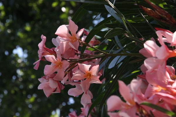 und überall kräftig blühende Oleander