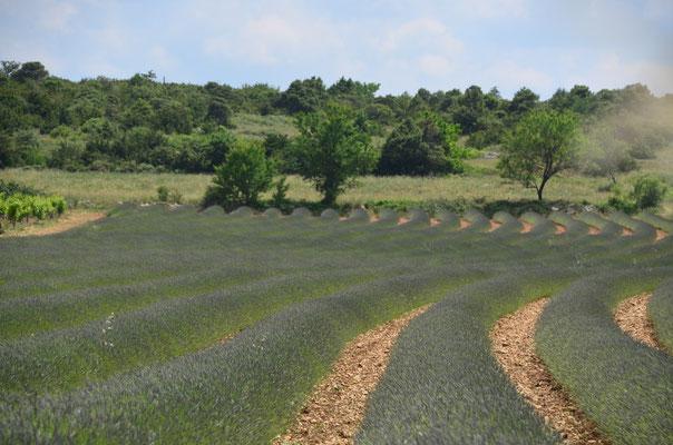 Lavendelfeld, zum Blühen leider noch etwas früh