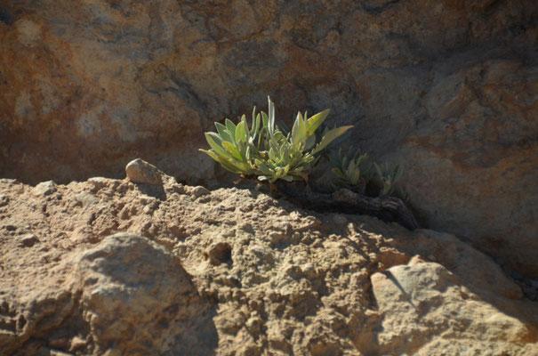 Selbst in den kleinsten Felsritzen findet man frisches Grün und das alles auf einer Höhe von 2300 Metern
