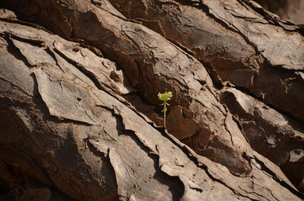 In den Wurzeln eines Drachenbaumes wächst neues Grün