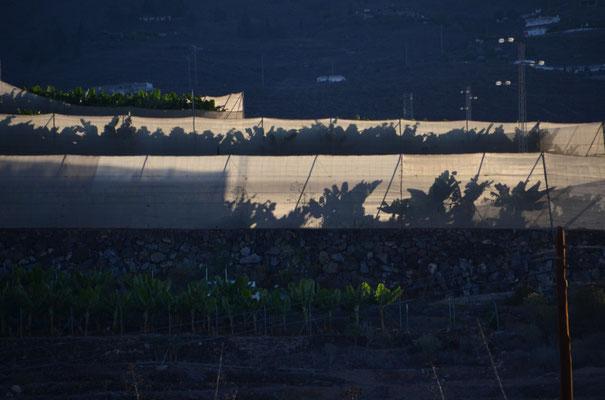 Bananenanbau im großen Maßstab ist charakteristisch für den Südwesten, sieht nur in der Nahaufnahme so romantisch aus ;-)