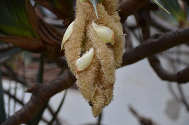 Blüte einer Pflanze, die einem riesigen Yuccabaum ähnelt.