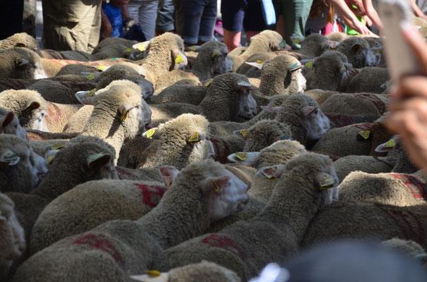 zu unserer Überraschung ist es eine riesige Herde von Schafen und Ziegen:)