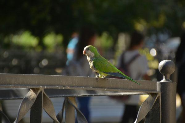 In den vielen Parks Leben kleine Papageien