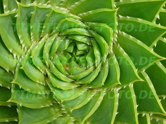 Der faszinierend symmetrische Wuchs einer Aloe Vera in Nelson, Neuseeland. Foto: Esther Knipschild