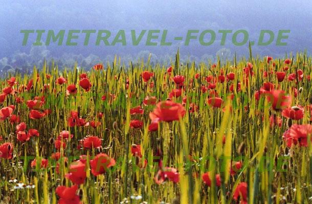 Im jungen Kornfeld blühen die Mohnblumen bereits in voller Pracht. Foto: Esther Knipschild