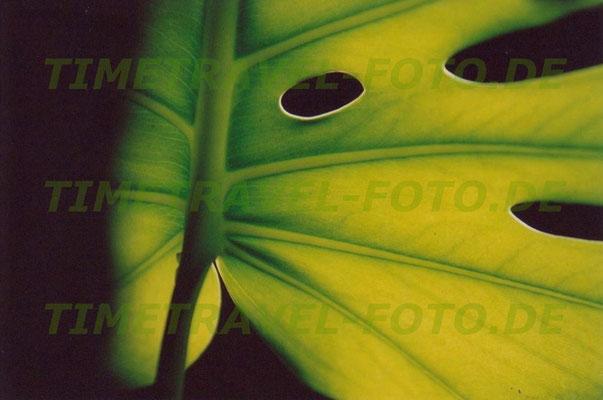 Blatt eines Philodendrons von der Sonne erleuchtet. Foto: Esther Knipschild