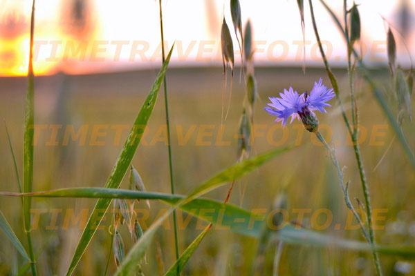 Eine blauleuchtende Kornblume im Haferfeld. Foto: Esther Knipschild