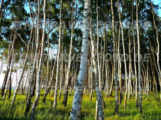 Küstenwald aus Birken am Ostseestrand. Foto: Esther Knipschild