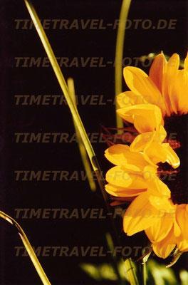 Sonnenblume in Vase. Foto: Esther Knipschild
