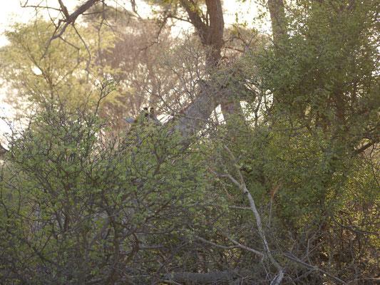 und hier zwei Giraffen