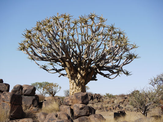 Köcherbaum 500 Jahre
