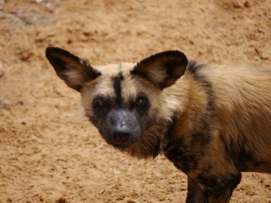Wildhund sind vom Aussterben bedoht