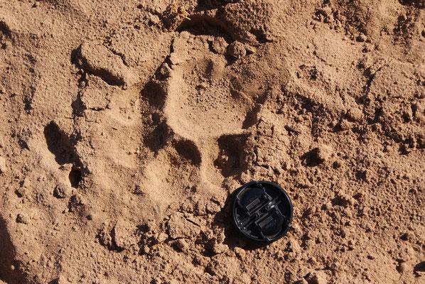 Richtig - ein Löwenabdruck                (hier mal mit Fotoabdeckung um die Größe darzustellen)