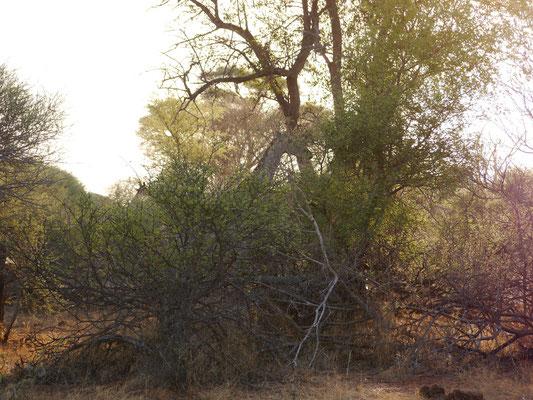 und noch zwei Giraffen, so manchesmal vom Auto aus kaum zu sehen