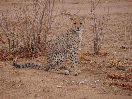 4 Monate alter Gepard