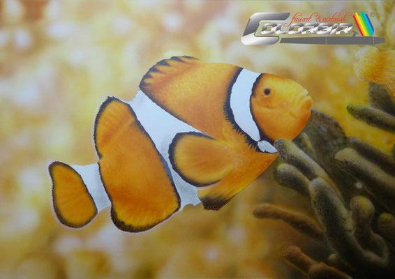 Anemonenfisch Kunstmaler