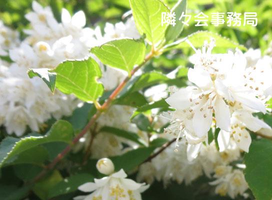 ∞ 自生の卯木の花