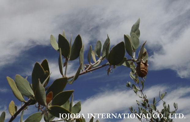 ♔ 【神秘の植物 原種ホホバ種子(純粋種Sayuri原種ホホバ 雌・Queen)6月】