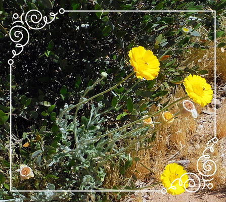 ♔ Desert Marigold Native Wildflower & JOJOBA ORIGINAL SPECIES Copyright by JOJOBA INTERNATIONAL CO., LTD.