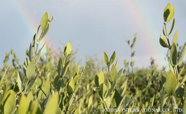 虹と神秘の植物 原種ホホバ 原種ホホバの自生地・聖地 アリゾナ州ハクアハラヴァレーにて