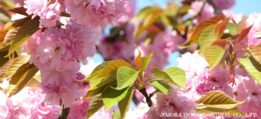 ♔ HAPPY MOTHER'S DAY ♪ JOJOBA INTERNATIONAL CO., LTD.