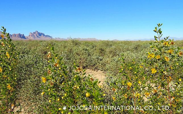 ❦ 野花(Larrea tridentata)とミツバチ アリゾナ州ハクアハラヴァレー原種ホホバ農園にて