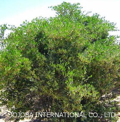♔ 【神秘の植物 原種ホホバ(純粋種Sayuri原種ホホバ 雄・King) 4月 灌木 高さ 約2メートル】 花期も終わりました