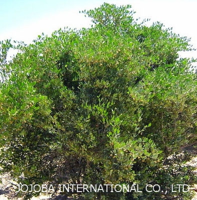 ♔ 神秘の植物 原種ホホバ(純粋種Sayuri原種ホホバ 雄・King) 4月 灌木 高さ 約2メートル 花期も終わりました