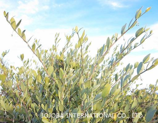♔ 今年も沢山の神秘の植物 原種ホホバ種子(純粋種Sayuri原種ホホバ)が収穫・栽培できますように❣