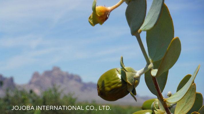 ♔ 神秘の植物 原種ホホバ(純粋種Sayuri原種ホホバ 雌・Queen)5月