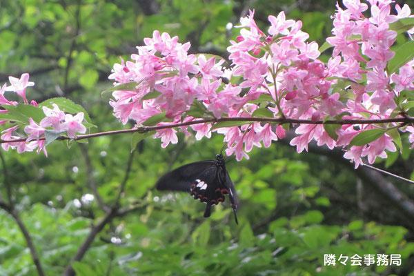 ∞ 自生の卯木の花と蝶