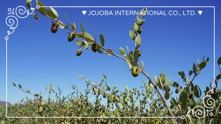 "❦ JOJOBA Spiritual Beauty ♥☆"" JOJOBA ORIGINAL SPECIES(純粋種Sayuri原種ホホバ)"