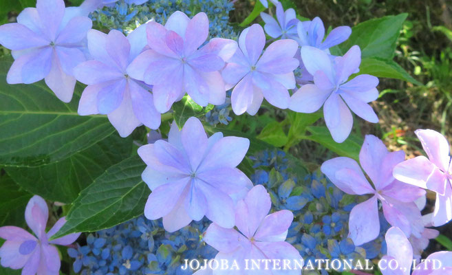 ♔ Hydrangea hybrida ♪ Dance Party ♪ JOJOBA INTERNATIONAL CO., LTD.