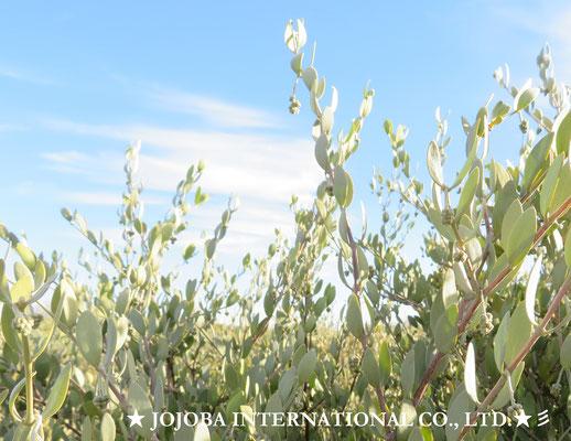 ♔♛ 原種ホホバの聖地 アリゾナ州ハクアハラヴァレー★ JOJOBA INTERNATIONAL CO., LTD. ★彡