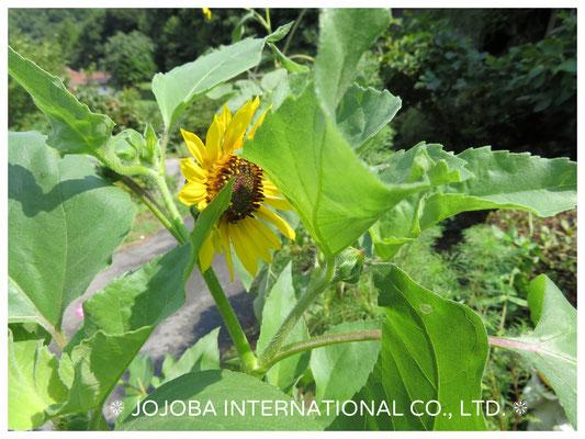 ❦ 原種ホホバ有機肥料で育ちました原種ひまわりです♥