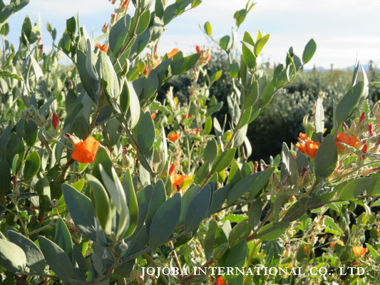 ♔ Jojoba with Orange Desert Globemallow