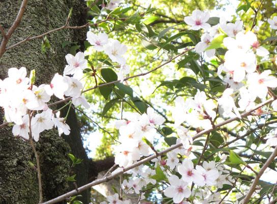 ✤´* 【桜】*´✤♪♫♥ ღ∞♪ *:☆・∴・∴・∴