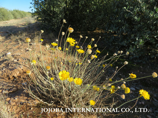 ♔ Desert Marigold Native Wildflower