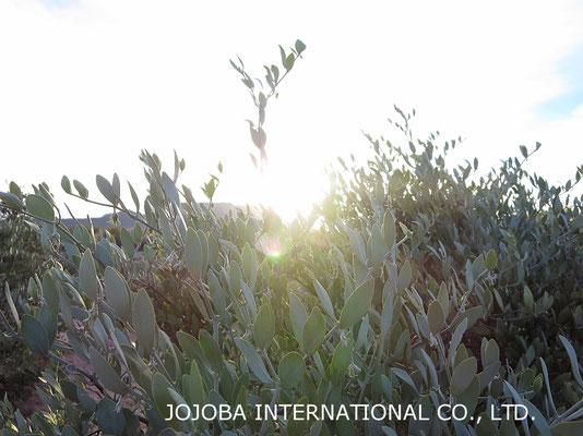 ♔ 神秘の植物 原種ホホバ(純粋種Sayuri原種ホホバ)の若い種子(雌・Queen)