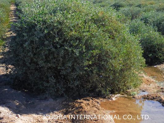♔ 灌漑用水 アリゾナ州ハクアハラヴァレー原種ホホバプランテーションにて