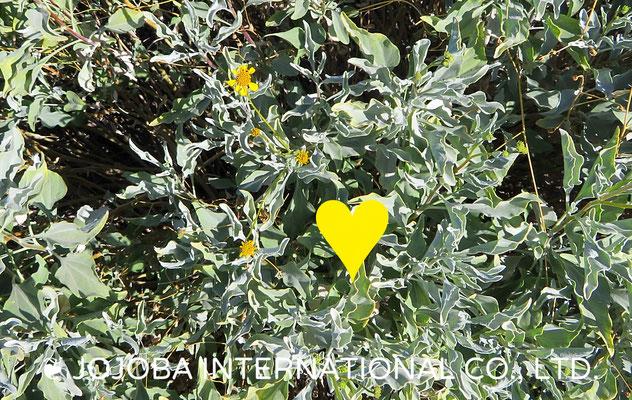 ❦ 野花(Brittlebush)アリゾナ州ハクアハラヴァレー原種ホホバ農園にて
