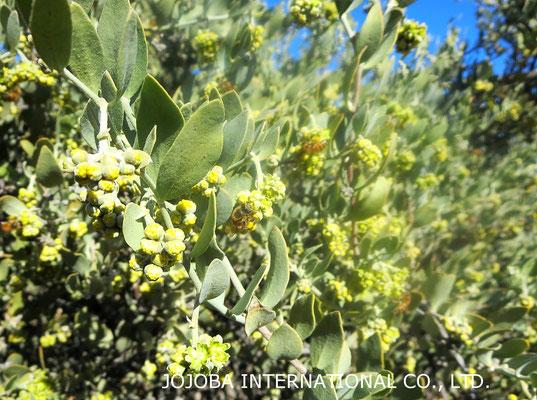 ♔ 神秘の植物 原種ホホバ(純粋種Sayuri原種ホホバ)のお花(雄・King)とハクアハラ蜜蜂。