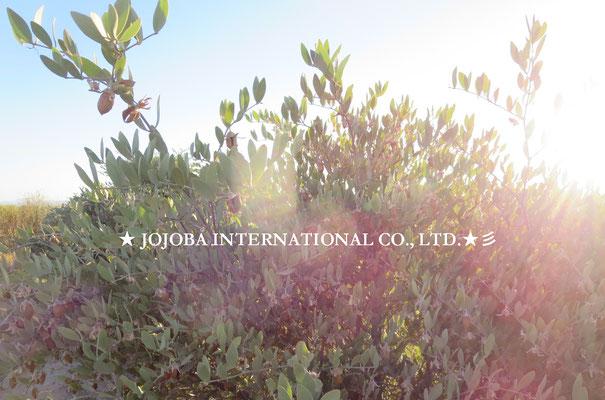 ♔♛ 原種ホホバの聖地アリゾナ州ハクアハラヴァレー★ JOJOBA INTERNATIONAL CO., LTD. ★彡