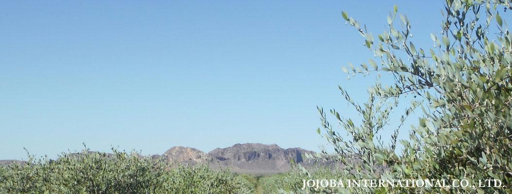 ♔ Growing jojoba ★Jojoba original species ◎ 於: 原種ホホバの聖地アリゾナ州ハクアハラヴァレー